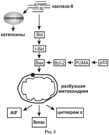 Фрагмент схемы апоптоза